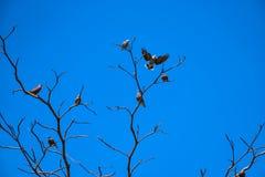 Vara dos pássaros na árvore seca Fotos de Stock