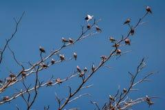 Vara dos pássaros na árvore seca Imagem de Stock Royalty Free