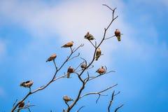 Vara dos pássaros na árvore seca Imagem de Stock