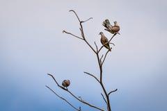 Vara dos pássaros na árvore seca Imagens de Stock Royalty Free