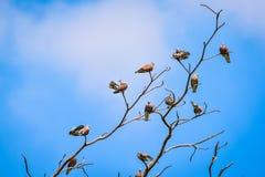 Vara dos pássaros na árvore seca Fotografia de Stock