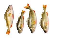 Vara em um fundo branco, peixe de água doce do rio Imagens de Stock Royalty Free