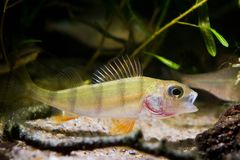 Vara europeia, peixe predador do coldwater, fluviatilis do Perca, boca aberta no aquário temperado do biótopo do rio, foto da nat imagens de stock royalty free