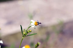 Vara pequena das abelhas do inseto na flor da margarida Fotografia de Stock