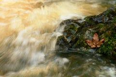 Vara podre da folha na pedra Folha podre colorida na pedra molhada do deslizador no córrego Fotografia de Stock