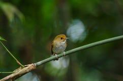 vara Rufous-sobrancelhuda do papa-moscas no ramo Fotos de Stock Royalty Free