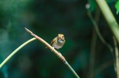vara Rufous-sobrancelhuda do papa-moscas no ramo Imagens de Stock Royalty Free