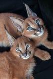Vara slö för två caracals Arkivfoto