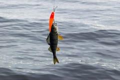 Vara travada em uma isca Vara do rio no gancho Pescador que guarda a isca com peixes da vara Conceitos da pesca bem sucedida foto de stock royalty free