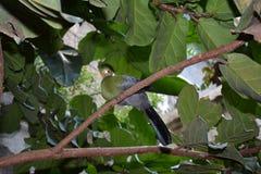 varad fräck mot turacowhite Arkivfoto