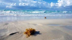 Varadero Cuba Zeewier op het strand stock afbeelding