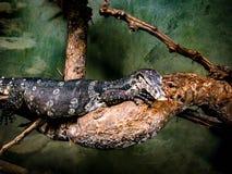 Varan,监控蜥蜴 库存图片