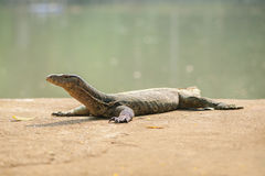 Varan in Bangkok zoo Royalty Free Stock Photo