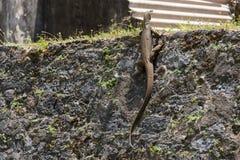 Varan, das auf der Steinwand klettert stockfotos