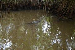 Varan flottant en rivière Jungle de Sri Lanka Photo stock
