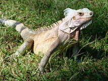 Varan in the grass. Looking at the photographer Royalty Free Stock Photos