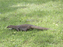 Varan on the grass royalty free stock photography