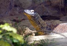 Varan Komodo lizard reptile Squamata. Predator tooth Royalty Free Stock Image