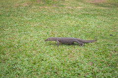 The Varan (Lizard) on the grass. Royalty Free Stock Images
