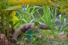 Varan lizard near the stream stock images