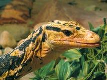 Varan lizard sleeping in the sun. Big reptile creeping animal. Amazing nature stock photo
