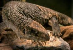 Varan lizard Royalty Free Stock Image