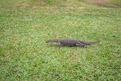 Varan na trawie (jaszczurka) Obrazy Royalty Free