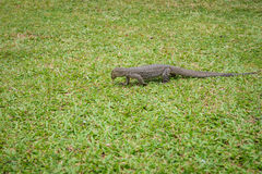 Varan na trawie (jaszczurka) Obraz Stock