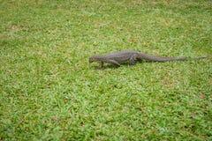 Varan na trawie (jaszczurka) Zdjęcie Royalty Free