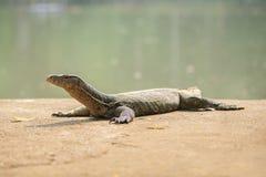 Varan nel giardino zoologico di Bangkok fotografia stock libera da diritti