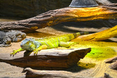 Varan in Prague zoo Royalty Free Stock Photo