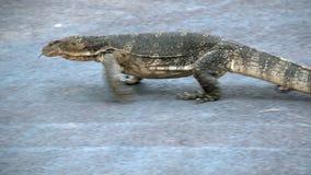 Varan rayado salvaje despredador del lagarto peligroso, salvator del varanus, en el camino en parque nacional almacen de metraje de vídeo