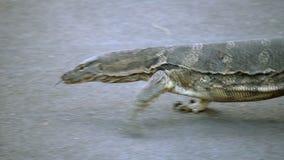 Varan rayado salvaje despredador del lagarto peligroso, salvator del varanus, en el camino en parque nacional metrajes