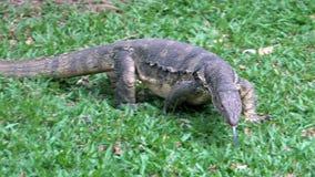 Varan rayado salvaje despredador del lagarto peligroso, salvator del varanus, en hierba en parque nacional almacen de video