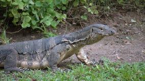 Varan rayado salvaje despredador del lagarto peligroso, salvator del varanus, en hierba en parque nacional metrajes