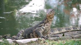 Varan rayado salvaje despredador del lagarto peligroso, salvator del varanus, en la charca cercana de tierra en parque nacional almacen de video