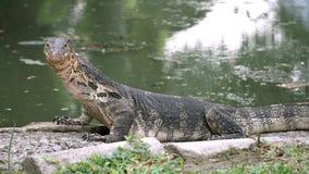 Varan rayado salvaje despredador del lagarto peligroso, salvator del varanus, en la charca cercana de tierra en parque nacional metrajes