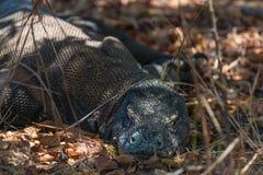 Varan se repose en parc national de Komodo, Indonésie Photographie stock libre de droits