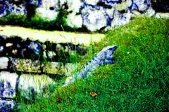 Varan se repose sur l'herbe image stock