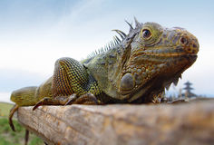 Varan small dragon Indonesia Bali Stock Photo