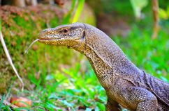 Varan. Sri Lanka Stock Photography
