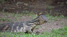 Varan a strisce selvaggio predatore della lucertola pericolosa, salvator di varano, su erba in parco nazionale video d archivio