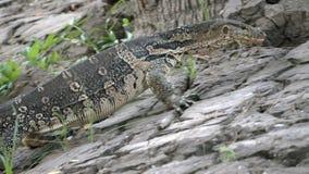 Varan a strisce selvaggio predatore della lucertola pericolosa, salvator di varano, sulla terra in parco nazionale stock footage