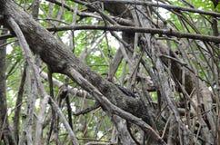 Varan sur les branches sèches dans la jungle tropicale Image stock