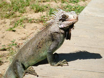 Varan on the wooden pavement. Looking at the photographer Royalty Free Stock Photography