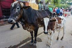 Varanasi, ÍNDIA - 29 DE MAIO DE 2017: Duas vacas sagradas em Varanasi foto de stock