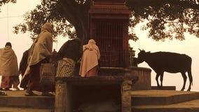 Varanasi, Ινδία, ινδικές γυναίκες και ελεύθερη ιερή αγελάδα απόθεμα βίντεο