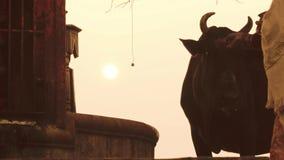 Varanasi, Ινδία, ινδικές γυναίκες και ελεύθερη ιερή αγελάδα φιλμ μικρού μήκους