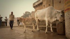 Varanasi, Ινδία, ινδικοί λαοί και ελεύθερες ιερές αγελάδες απόθεμα βίντεο