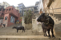 Varanasi. A cow eat in the street Stock Photo